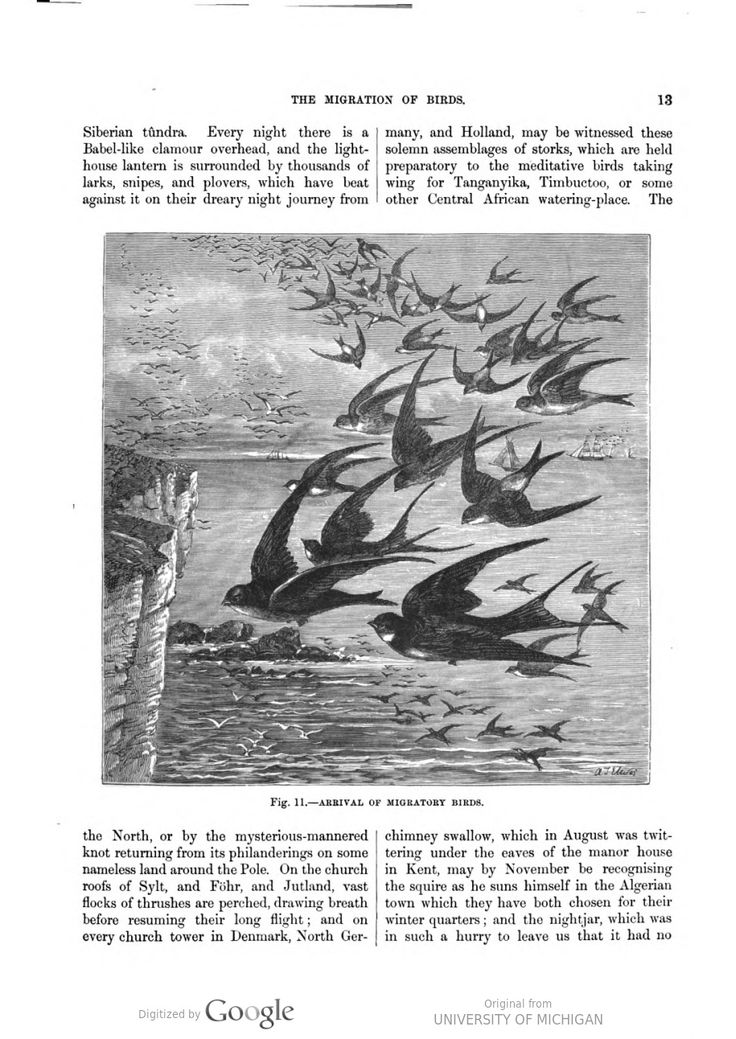 Chimney swallows migration, Our Earth and its Story: A popular treatise on physical geography, Robert Brown, 1887-90.