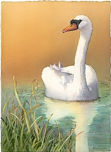 """Reflecting"" (Mute Swan) by Barbara Groenteman Watercolor ~  x"