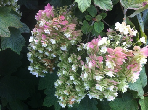 1000 images about shade garden plants on pinterest for Hydrangea quercifolia