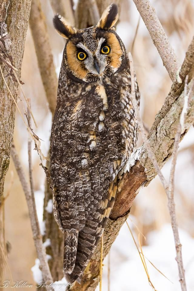 Long-eared Owl .