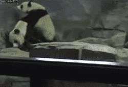 Endangered Giant Panda Facts And Information Funny Gif #4181 - Funny Panda Gifs| Funny Gifs| Panda Gifs