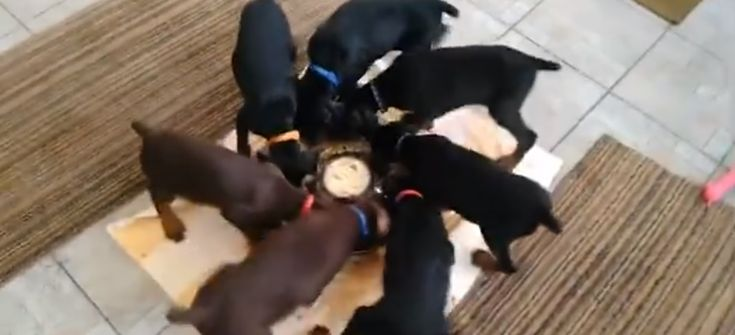 A spinning pinwheel of puppies eating! We wonder where they picked up this trick! Read more