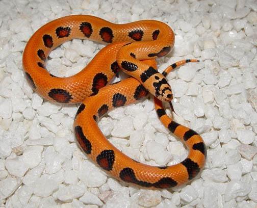 13 Best Hybrid Snakes Images On Pinterest  Snake, Snakes -7457