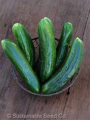 Muncher Burpless Cucumber Seeds - Sustainable Seed Co.