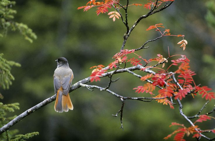 Siberian Jay enjoying the autumn colours in Kuusamo, Lapland, Finland.