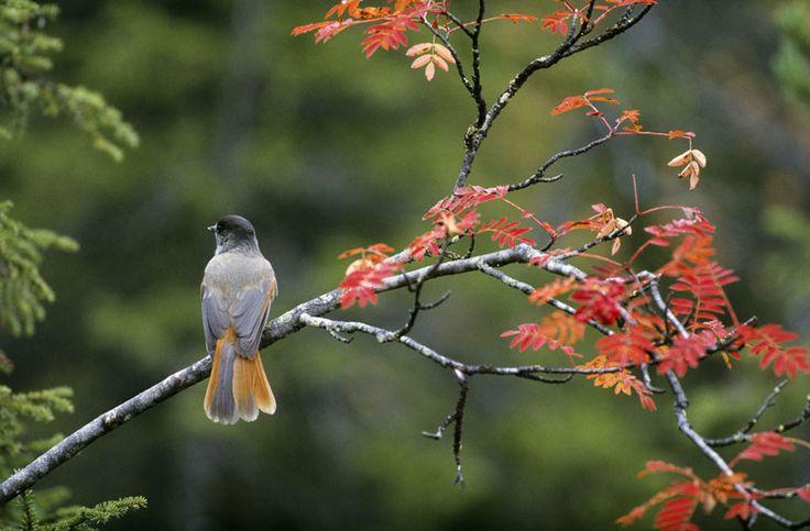 Siberian Jay enjoying the autumn colours in Kuusamo, Lapland, Finland.