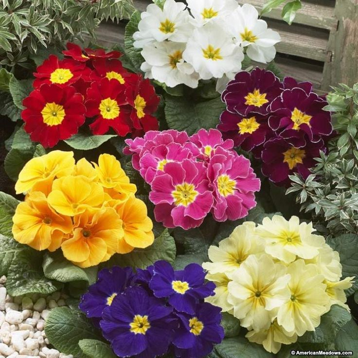 Primrose Hethor Giant Mixture has striking colors of red, orange, yellow  blue and white that blend together creating a blanket of color in the early spring to fall.   Hethor Giant would be perfect for the edge of a woodland garden or in a container on a shady patio. (Primula acaulis)