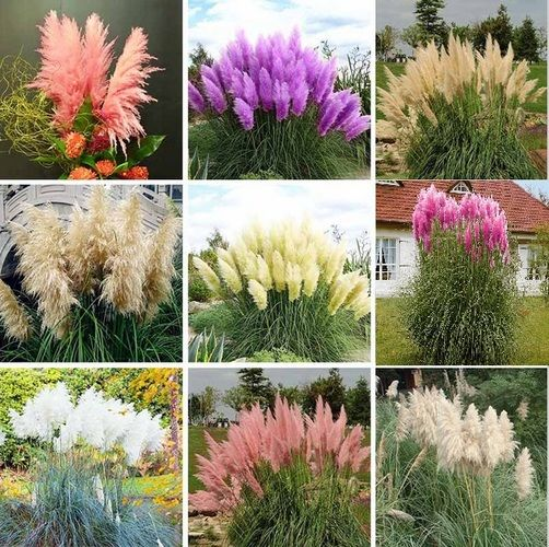 372 best images about grasses weeds on pinterest for Landscaping ideas with pampas grass