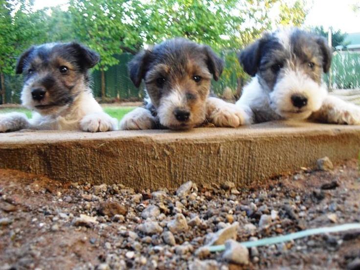 Wirehair Terrier Fox Terrier Wire Fox Terrier Terrier Breeds