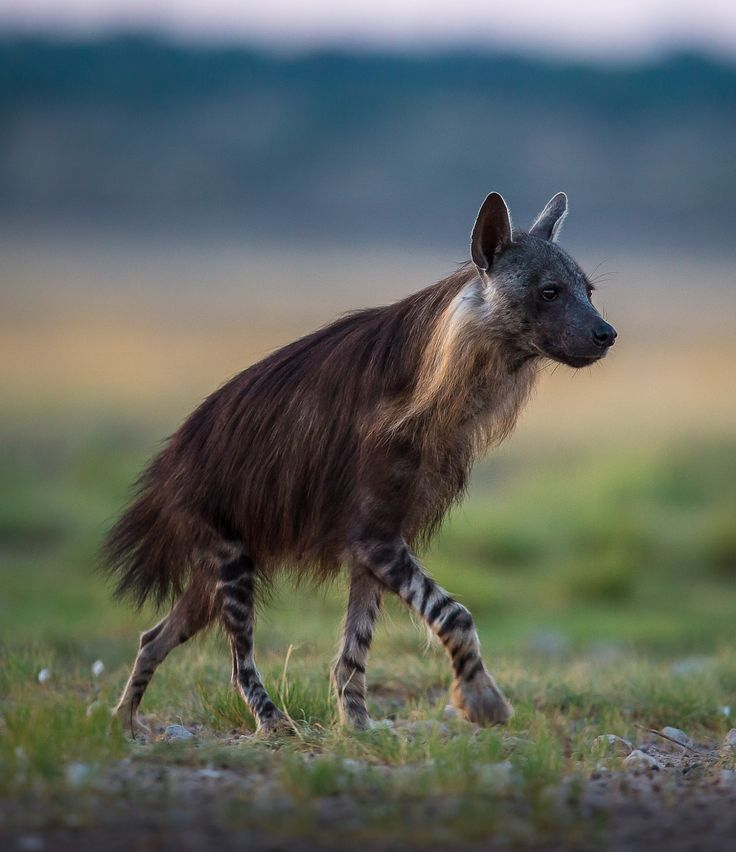 "beautiful-wildlife: ""Brown Hyena in the Kalahari by Christophe JOBIC """