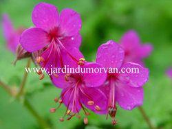 GERANIUM MACRORRHIZUM 'CZAKOR' une plante vivace du Jardin du morvan, la pépinière de Thierry DENIS