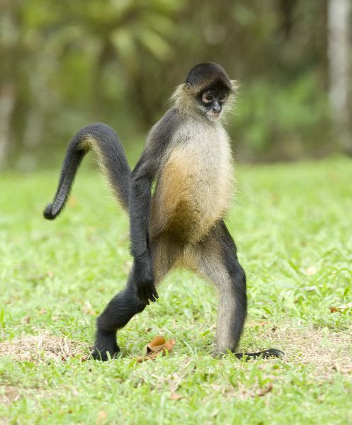Spider Monkey Walking - Monkey Facts and Information