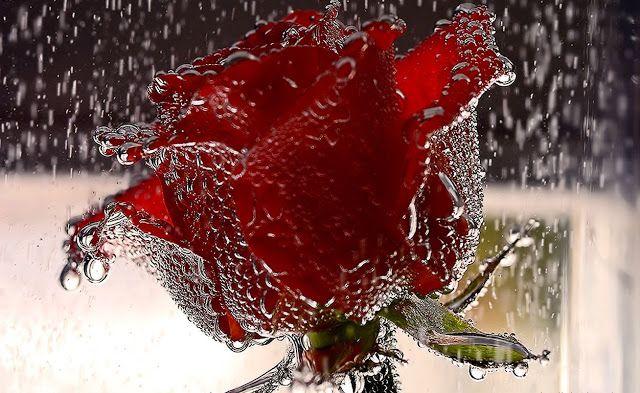 أجمل 40 خلفية عالية الدقة للورد الاحمر مداد الجليد Flower Wallpaper Red Rose Flower Lovers Art