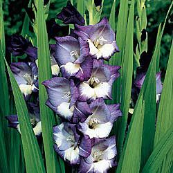 Midnight Moonlight Gladiolus Brecks USA