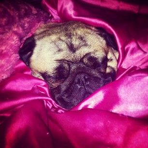 Look, a wrinkly pug blanket burrito. She must be snuggled IMMEDIATELY.   The 19 Most Squishable Dogs On Instagram