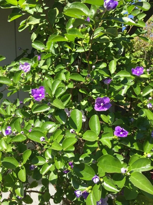 Yesterday Today And Tomorrow Brunfelsia Your Lovely Plant Is Likely An Evergreen Shrub Identified By Its Purp Evergreen Shrubs White Flowers Tropical Plants