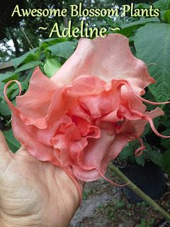 Awesome Blossom Plants: Brugmansia or Angel Trumpets For Sale