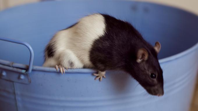 Les rats ou les souris ne dérangeraient personne en soi, s'ils ne venaient pas voler de la nourriture, faire des trous dans les murs ou encore transporter des maladies ! Les faire fuir, ou si l'on veut une méthode plus radicale, les tuer, est donc presque une nécessité lorsque l'on commence à en avoir.  Découvrez l'astuce ici : http://www.comment-economiser.fr/meilleurs-astuces-repousser-rats-souris.html?utm_content=buffer44e70&utm_medium=social&utm_source=pinterest.com&utm_campaign=buffer
