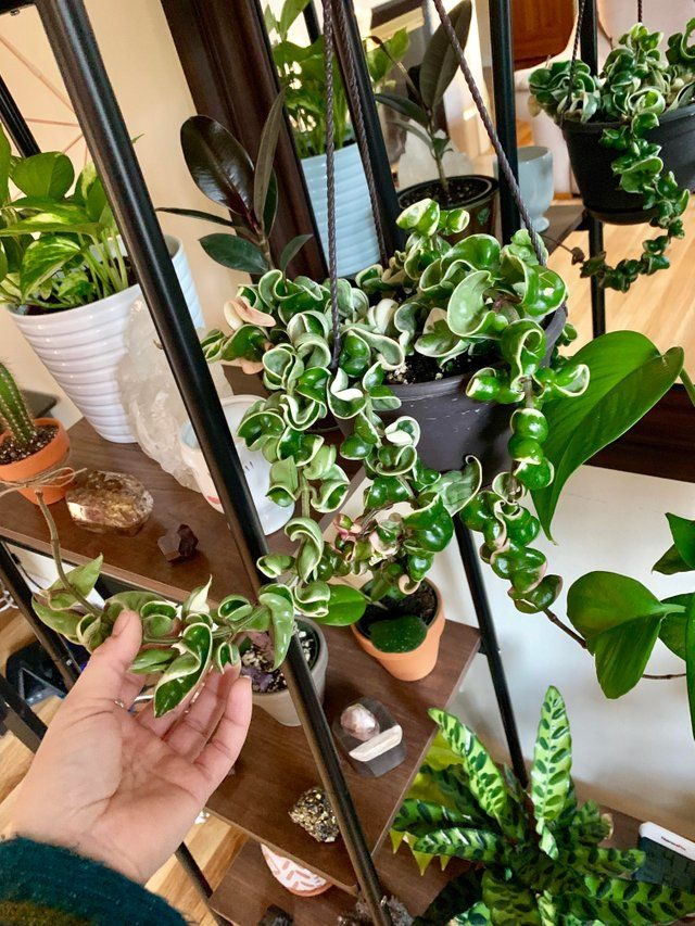 After Searching High And Low Finally Spotted A Variegated Hoya Carnosa Compacta At Home Depot Of All Places And For Just Hoya Plants Variegated Plants Plants