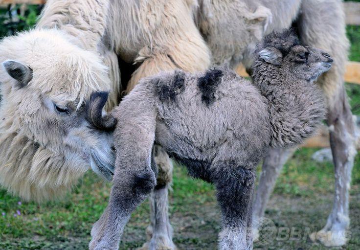 ハンガリー・ブダペスト(Budapest)のブダペスト動植物園(Budapest Zoo and Botanic Garden)で公開された、先週生まれたばかりのフタコブラクダ(野生種、学名:Camelus ferus)の赤ちゃんと寄り添う母親(2014年4月15日撮影)。(c)AFP/ATTILA KISBENEDEK ▼16Apr2014AFP フタコブラクダの赤ちゃんがお披露目、ブダペスト動植物園 http://www.afpbb.com/articles/-/3012726 #Budapest_Zoo_and_Botanic_Garden #Wild_Bactrian_camel #Camelus_ferus #Wilde_kameel #camello_salvaje