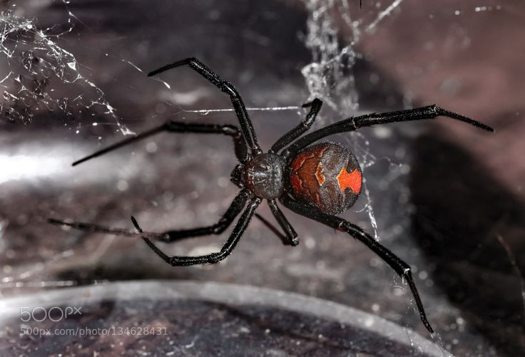 Up close with an Australian icon. The Redback Spider (Latrodectus hasselti)…