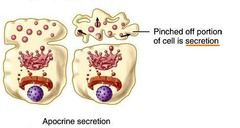 ALTRON Exocrine Glands and Endocrine Glands chapter 4 A&P flashcards | Quizlet