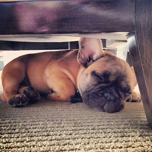 Zzzzzzz, sleeping French Bulldog Puppy