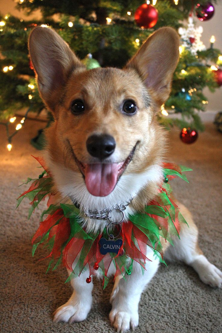 Happy Holidays from Calvin! Sooo adorable. Don't forget to order your grain free organic dog treats for his stocking!  Www.boneyardbakery.net