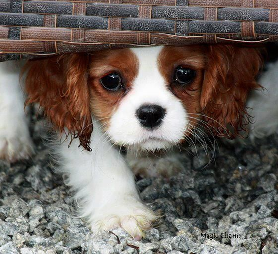 Cavalier pup <3 I AM ONLY TRYING TO GET AWAY FROM THAT BIG SPIDER!!!! DEAN
