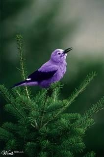 A PURPLE bird...wow....good job Lord