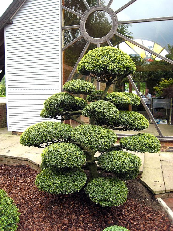 Ilex crenata in situ niwaki topiary pinterest for Decoration jardin olivier