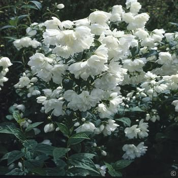 Philadelphus Snowbelle - 1 shrub