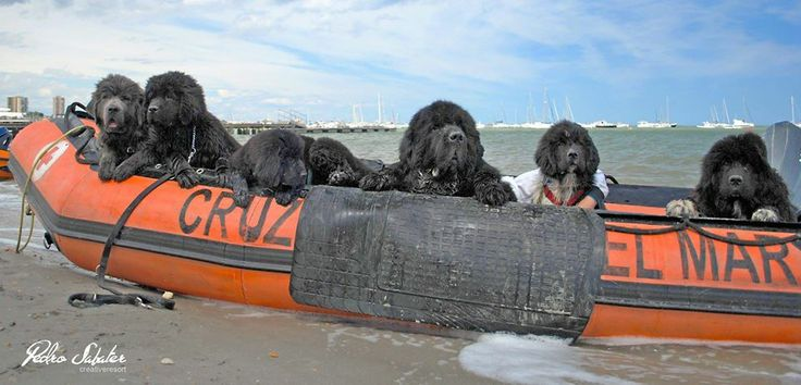 Newfoundland Dog, the Rescue Dog...