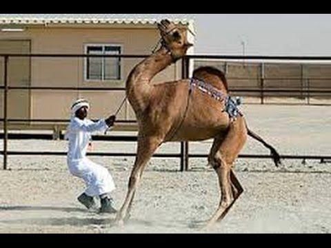Eid ul Adha 2016 | Camel Sacrifice Slaughter. Muslims Traditional Festival Visit: https://www.youtube.com/watch?v=9yu_KliqL-A