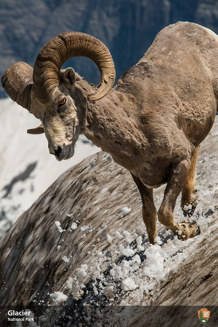 One leg goat lick at glacier national park same