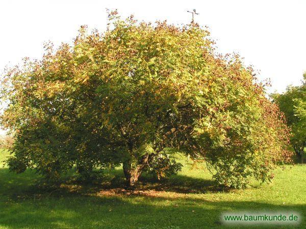 Rispiger Blasenbaum / Koelreuteria paniculata / Habitus Familie: Sapindaceae