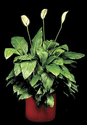 Spathiphyllum is a staple. Easy to care for, that's why everyone loves it.