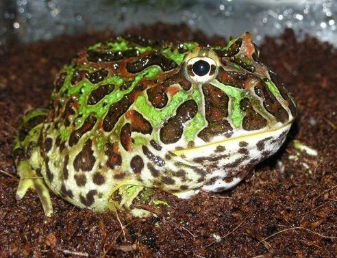 Best Pet Frogs for Beginners Pet frogs, Pets, Pet parade