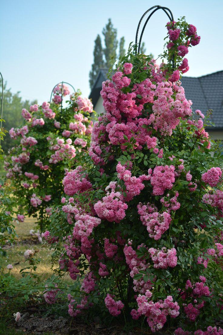 roże pnące