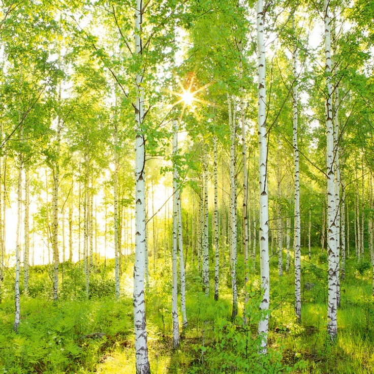 Fototapeter - Tag forskud på foråret med denne solbeskinnede og fredfyldte grønne skov med flotte hvide stammer.  Mål: højde: 254 cm bredde: 366 cm - pris kr. 739,00