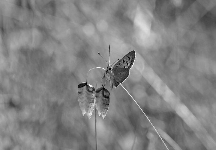 LYCAENA PHAEAS - Lycaenidae family