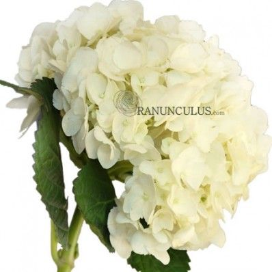 You can't miss the striking natural beauty of the White hydrangea!