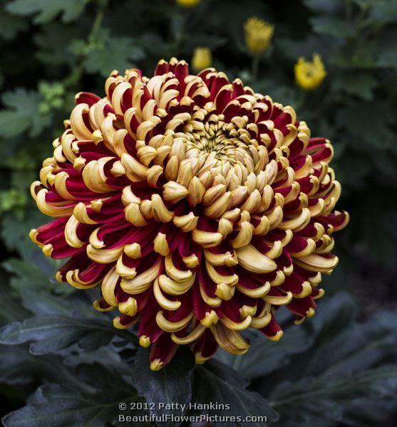 large intermediate chrysanthemum   Intermediate Incurve Chrysanthemums – St. Tropez and Gertrude
