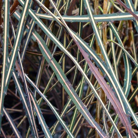Pseudopanax crassifolius - Lancewood | Southern Woods