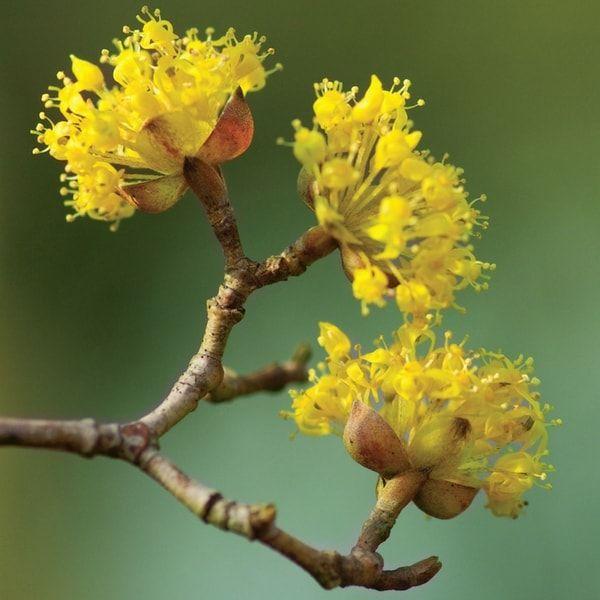 Si les cornouillers à bois colorés se sont fait une belle place dans nos jardins, on connaît moins le Cornus mas ou Cornouiller mâle. Il est en fleurs en ce...
