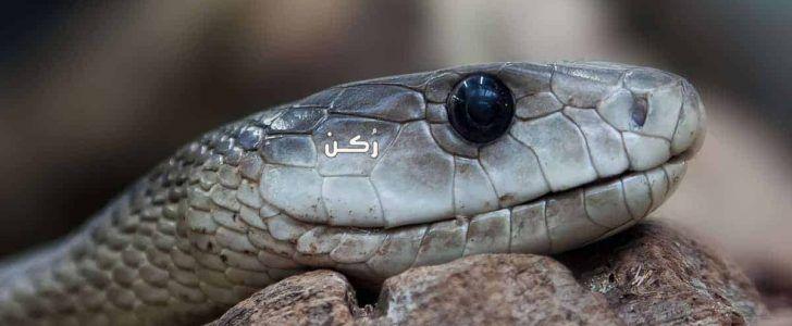 تفسير حلم الثعبان الاسود والاصفر والاخضر والأفعى لابن سيرين موقع ر كن Snake Snake Facts Black Mamba