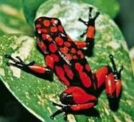 Rood staat voor agressiviteit en deze kikker is giftig
