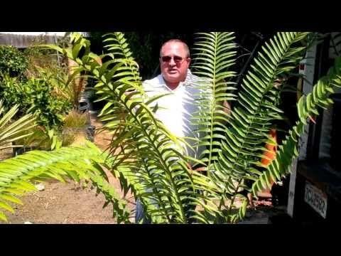 Encephalartos Expert speaks on endangered plants. World renowned Encephalartos expert Maurice Levin speaks on the importance of perpetuating endangered plant species through propagation and preservation. http://Enviroscapela.com