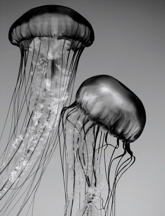 Jellyfish art black and white nature photography by penumbra images 25 00
