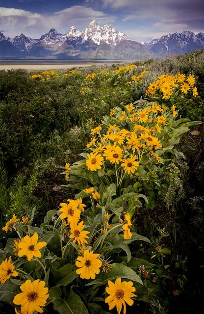 Balsamroot flowers blooming in the valley, Grand Teton National Park, USA by Gord McKenna